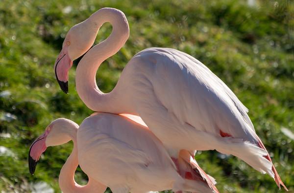 Animals, Birds, Flamingo, Greater Flamingo, Marwell Zoo @ Marwell Zoo, City of Winchester,England - 24/02/2018