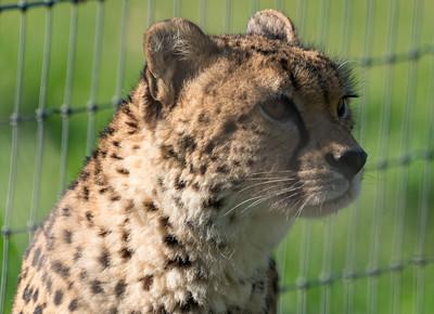 Animals, Big Cat, Cheetah, Marwell Zoo @ Marwell Zoo, City of Winchester,England - 24/02/2018