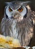 Animals, Birds, Marwell Zoo, Northern White Faced Owl, Owl @ Marwell Zoo, City of Winchester,England