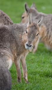 Animals, Marwell Zoo, Parma Wallaby, Wallaby - 25/03/2005