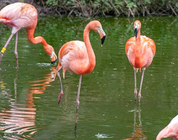 American Flamingo, Animals, Birds, Flamingo, Marwell Zoo - 25/03/2005