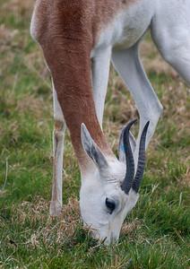 Animals, Dama Gazelle, Gazelle, Marwell Zoo - 25/03/2005