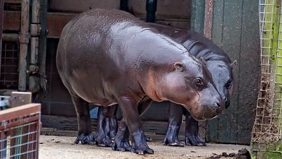 Animals, Hippopotomus, Marwell Zoo, Pygmy Hippo - 25/03/2005