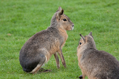 Animals, Dillaby, Marwell Zoo, Patagonian Cavy, Patagonian Hare, Patagonian Mara - 25/03/2005