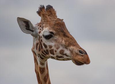 Animals, Giraffe, Marwell Zoo, Rothschilds Giraffe - 25/03/2005