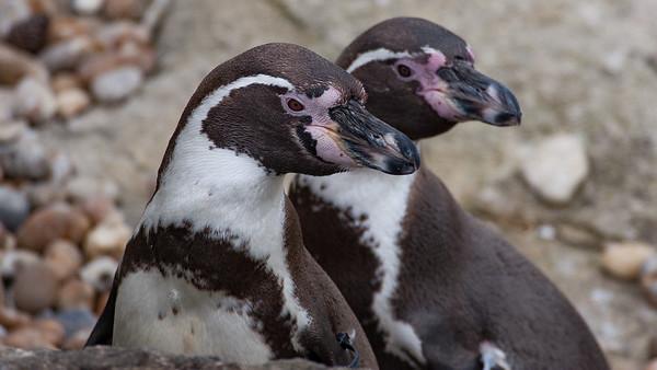 Animals, Birds, Humboldt, Marwell Zoo, Penguin - 25/03/2005