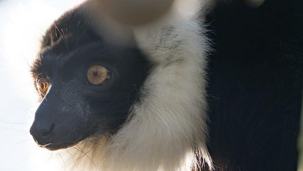 Animals, Black and White Ruffed Lemur, Lemur, Marwell Zoo