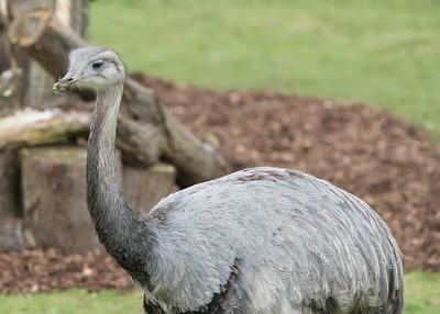 Animals, Birds, Greater Rhea, Marwell Zoo, Zoo - 26/02/2016