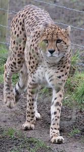 Animals, Big Cat, Cheetah, Marwell Zoo, Zoo - 26/02/2016
