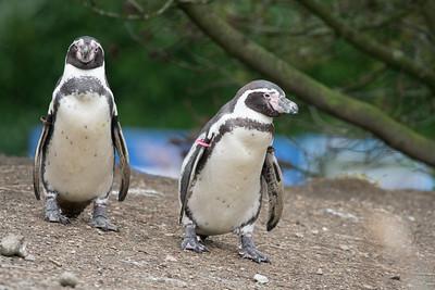 Animals, Birds, Humboldt, Marwell Zoo, Penguin, Zoo - 26/02/2016