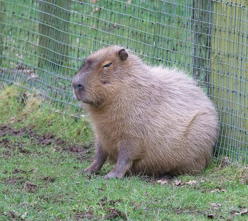 Animals, Capybara, Marwell Zoo, Zoo - 26/02/2016