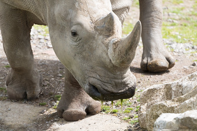 Animals, Marwell Zoo, White Rhinoceros @ Marwell Zoo, City of Winchester,England - 26/04/2018