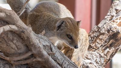 Animals, Marwell Zoo, Mongoose, Yellow Mongoose @ Marwell Zoo, City of Winchester,England - 26/04/2018