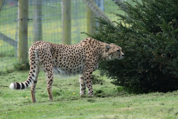 Animals, Big Cat, Cheetah, Marwell Zoo @ Marwell Zoo, City of Winchester,England - 26/04/2018