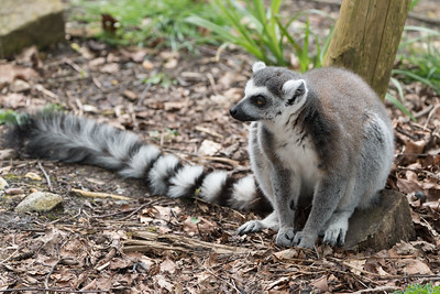 Animals, Lemur, Marwell Zoo, Ring-tailed Lemur @ Marwell Zoo, City of Winchester,England - 26/04/2018