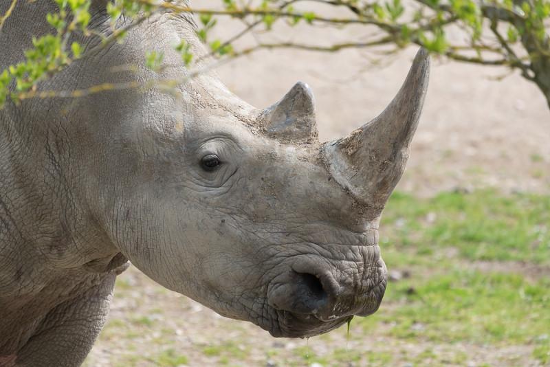 Animals, Marwell Zoo, White Rhinoceros @ Marwell Zoo, City of Winchester,England - 26/04/2018