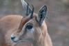 Animals, Dorcas Gazelle, Gazelle, Marwell Zoo @ MarWell Zoo, City of Winchester,England