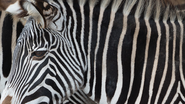 Animals, Grevy's, Marwell Zoo, Zebra @ MarWell Zoo, City of Winchester,England