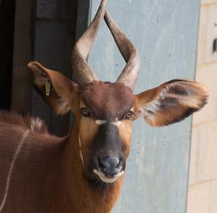 Animals, Marwell Zoo, Mountain Bongo @ MarWell Zoo, City of Winchester,England