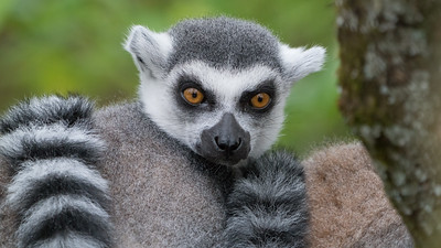 Animals, Lemur, Marwell Zoo, Ring-tailed Lemur; MarWell Zoo,City of Winchester,Hampshire,England