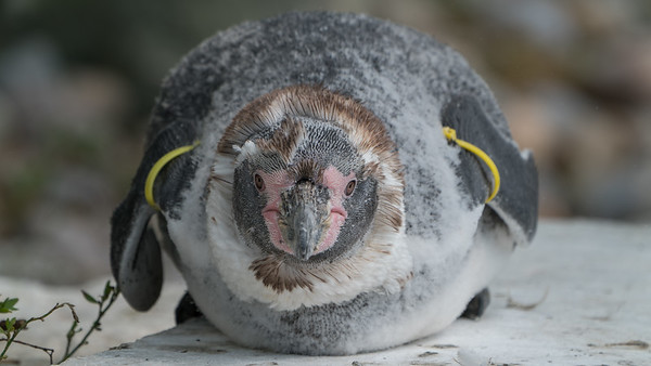 Animals, Birds, Humboldt, Marwell Zoo, Penguin; MarWell Zoo,City of Winchester,Hampshire,England