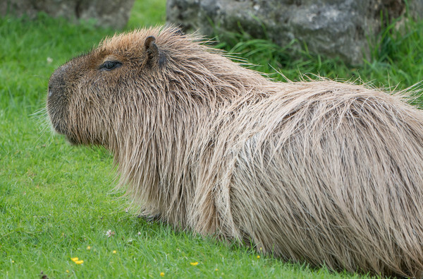 Animals, Capybara, Marwell Zoo; MarWell Zoo,City of Winchester,Hampshire,England
