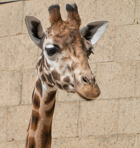 Animals, Giraffe, Marwell Zoo; MarWell Zoo,City of Winchester,Hampshire,England
