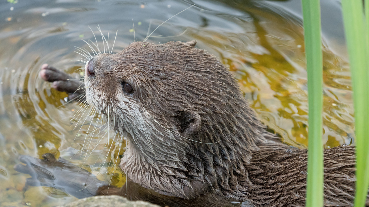 Animals, Marwell Zoo, Oriental Short-Clawed Otter, Otter; MarWell Zoo,City of Winchester,Hampshire,England