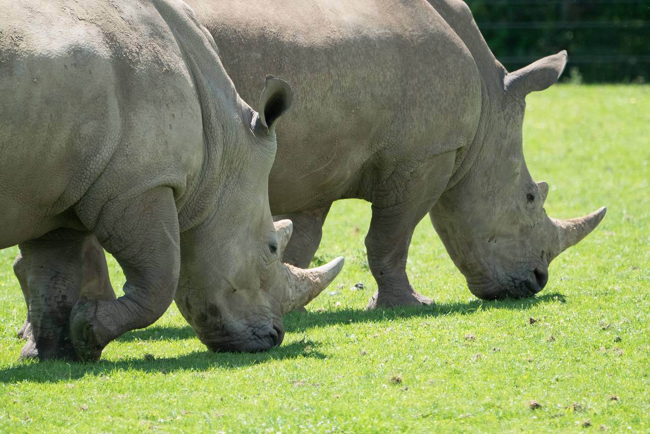 Animals, Marwell Zoo, White Rhinoceros; MarWell Zoo,City of Winchester,Hampshire,England