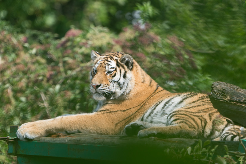 Amur, Animals, Big Cat, Marwell Zoo, Siberian Tiger, Tiger; MarWell Zoo,City of Winchester,Hampshire,England