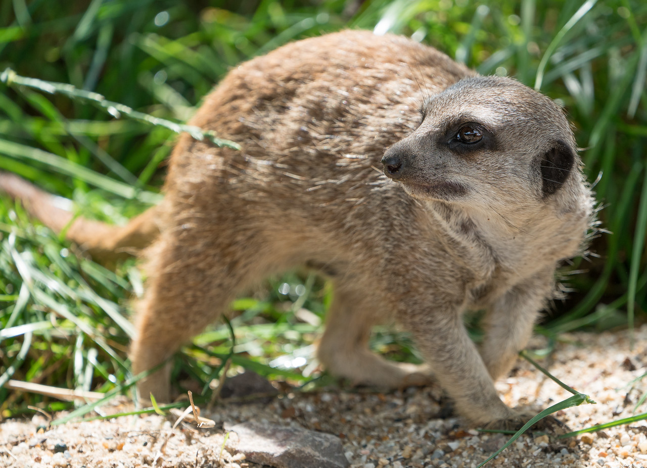 Animals, Marwell Zoo, Meerkat, Slende-tailed Meerkat; MarWell Zoo,City of Winchester,Hampshire,England