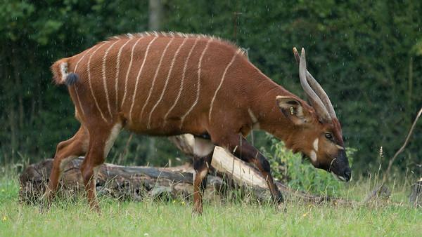 Animals, Antelope, Bongo, Marwell Zoo; MarWell Zoo,City of Winchester,Hampshire,England