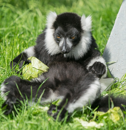 Animals, Black & White Ruffed Lemur, Lemur, Marwell Zoo; MarWell Zoo,City of Winchester,Hampshire,England