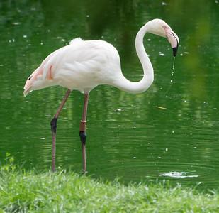 Animals, Birds, Flamingo, Greater Flamingo, Marwell Zoo @ MarWell Zoo, City of Winchester,England - 05/08/2017