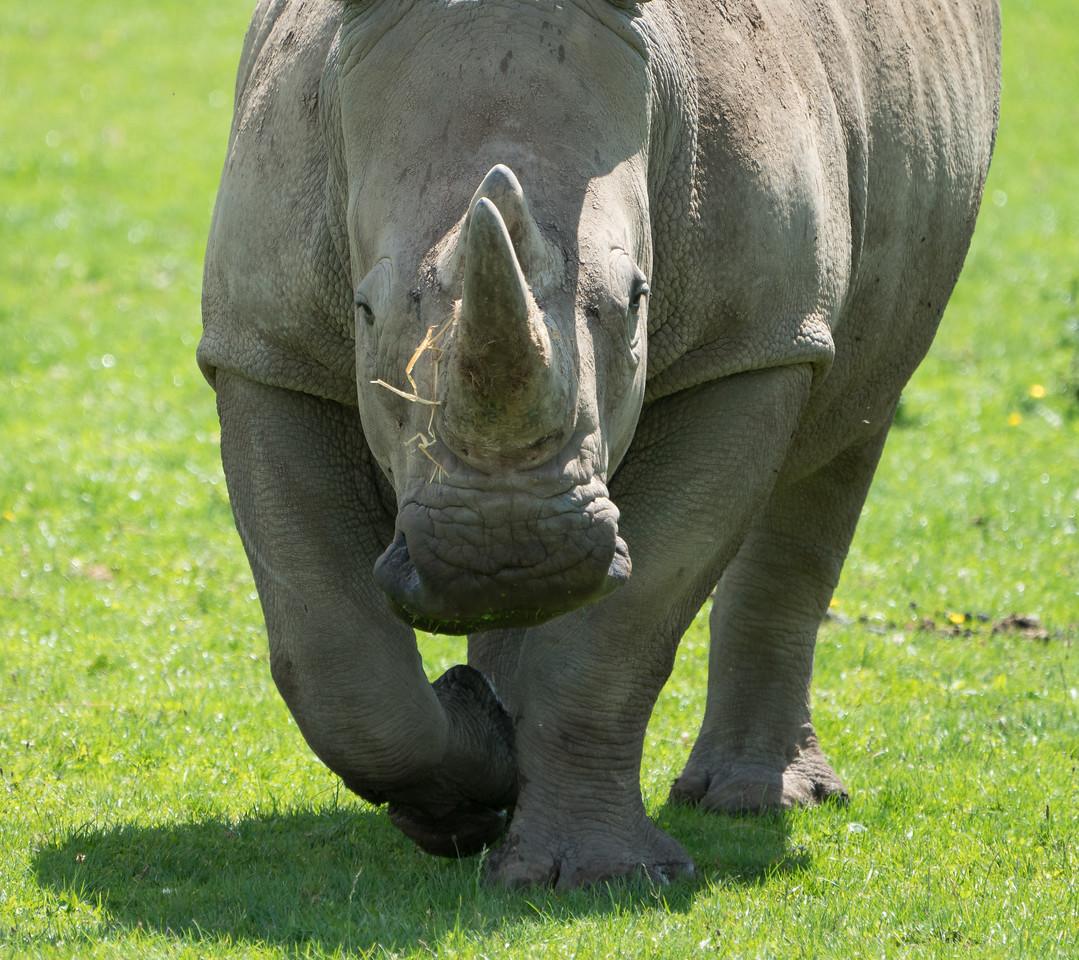 Animals, Marwell Zoo, White Rhinoceros; MarWell Zoo,City of Winchester,Hampshire,England