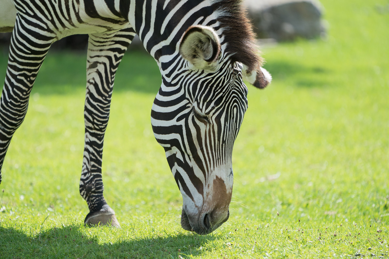 Animals, Marwell Zoo, Zebra; MarWell Zoo,City of Winchester,Hampshire,England