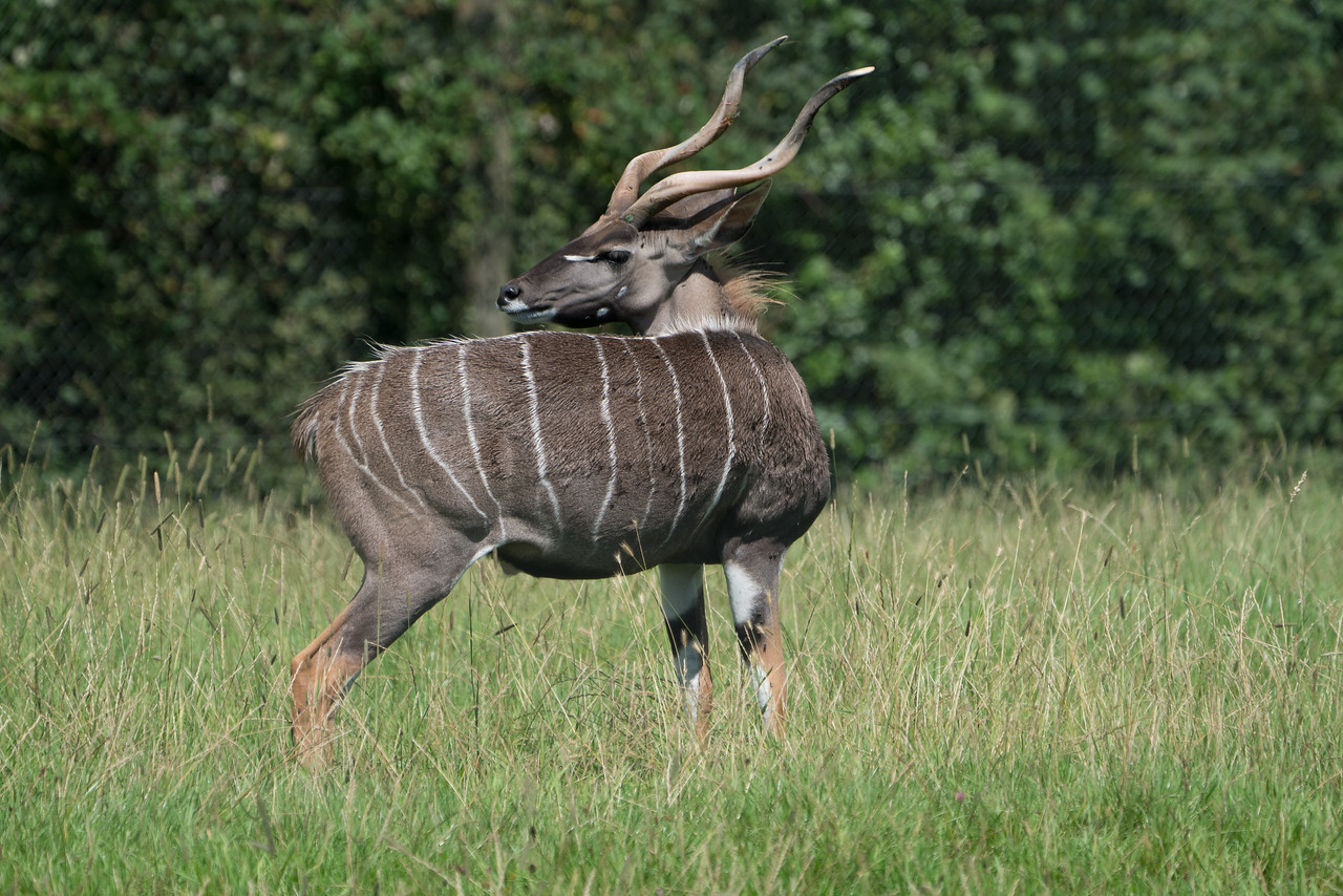 Animals, Antelope, Bongo, Marwell Zoo; MarWell Zoo,City of Winchester,Hampshire,England