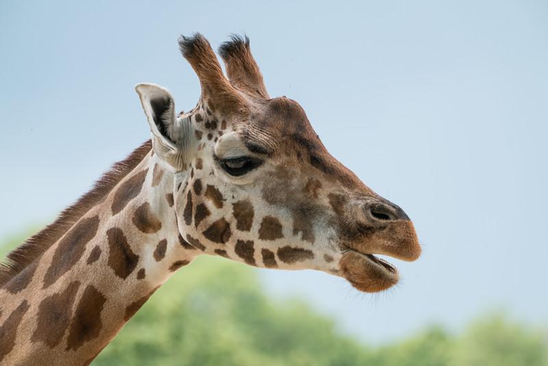 Animals, Giraffe, Marwell Zoo; MarWell Zoo,City of Winchester,Hampshire,England
