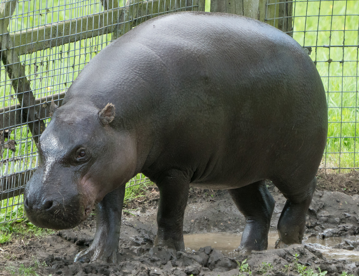 Animals, Hippopotomus, Marwell Zoo, Pygmy Hippo; MarWell Zoo,City of Winchester,Hampshire,England