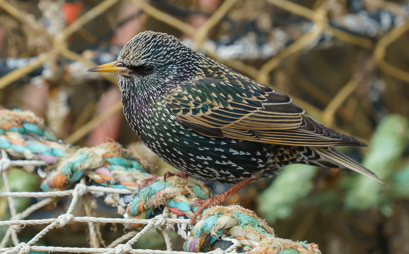 Animals, Birds, Modeford, Starling