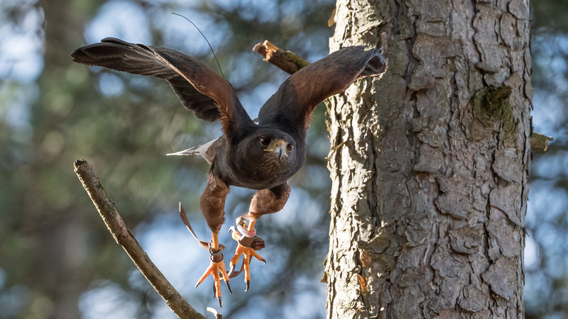 Animals, Birds, Harris Hawk, Hawks in the Forest, Hawksintheforest.com, Moors Park, Moors Valley Country Park - 08/03/2018