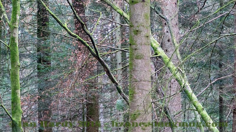 New Forest, Rhinefield Ornamental Drive, Tall Trees Walk