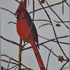 <b>Cardinal</b> <i>- Jean Hutchison</i>