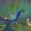 Purple Gallinule and Chick