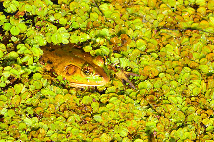 CCC109-01 - Frog in a Pond