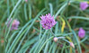 CCC104-01 - Chives