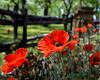 CCC104-06 - Red Poppy @ Berry Springs Garden