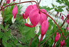 CCC104-12 - Bleeding Hearts