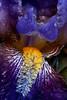 CCC104-03 - Happy Iris
