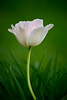 CCC104-09 - Tulip in Ornamental Grass